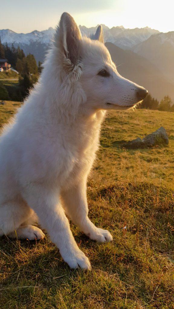Berger blanc suisse - conseil avant d'adopter chien