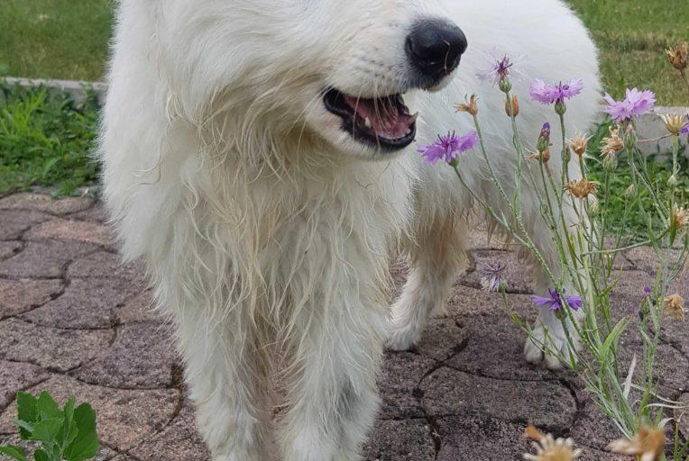 souscrire-une-assurance-santé-pour-son-chien-ou-son-chat_berger-blanc-suisse